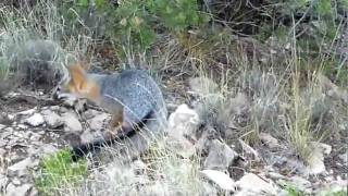 Wild Gray Fox Cub Lookin