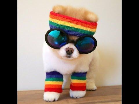 bearded-dog---funny-pomeranian---funny-dogs-[new-hd]