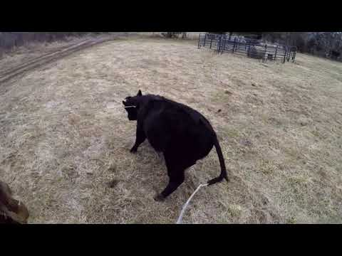 Roping runaway bull calf