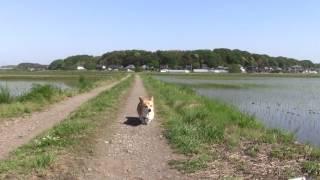 ウェルシュコーギー食欲怪獣もも、農道を散歩させてると、遠くの方から...