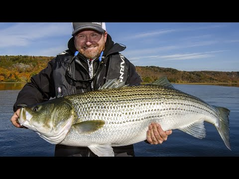 Giant Striped Bass In New Brunswick | Fish'n Canada