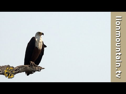 Africa's Greatest Raptor The African Fish Eagle  | BirdLife