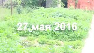 Первый урожай. Картошка под сеном. Май 2016(В этом видео я вместе с вами выкопаю первую картошечку в 2016 году. Я выращиваю картошку под толстым слоем..., 2016-06-28T14:21:24.000Z)