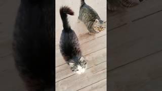 Толстые коты варежки. Милые котятки.