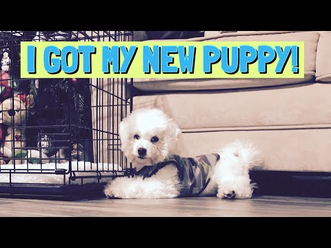 I ADOPTED A PUPPY | I get my Bichon Frise Puppy | Getting my new puppy 🐶