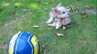 Yorkshire Terrier Bichon Frise Cross Puppy