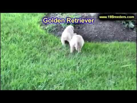Golden Retriever, Puppies, For, Sale, in, Mobile, County, Alabama, AL, Huntsville, Morgan, Calhoun,