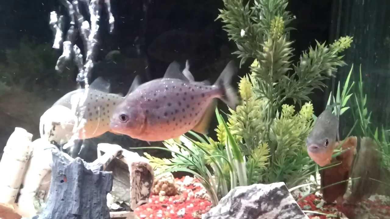 4 piranha in acquario di 250 litri hd youtube for Acquario 250 litri