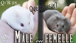 Q/A 28 : Hamster mâle ou femelle ❓