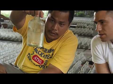 Betta farm in Thailand - Flower Fish (Part 3)