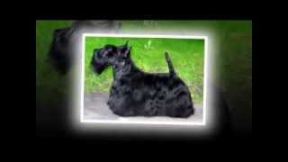 The Scottish Terrier (scottish Terrier)