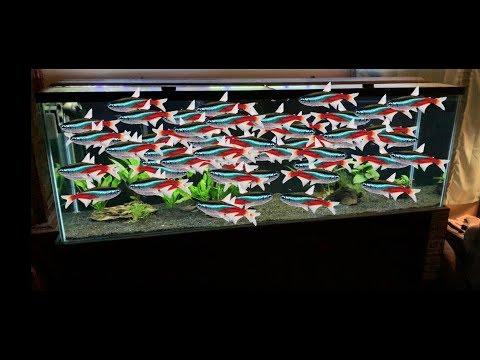 Adding 50 Neon Tetras To My Aquarium!