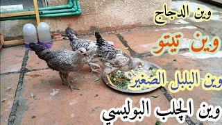 صورت الدجاج 🐓🐔 وجاوبت على اسئلة مهمة وشنو مستقبل هاي القناة 😃