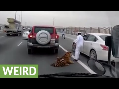 Tiger escapes caretaker's car, roams down crowded highway