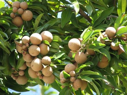 Sapota (Sapodilla) - Chikoo tree care tutorial video.