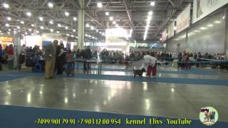 Евразия-1 2014 керн терьер. Eurasia -1 Dog Show. Cairn Terrier.