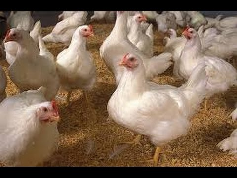 Pollos broiler reproduccion asexual
