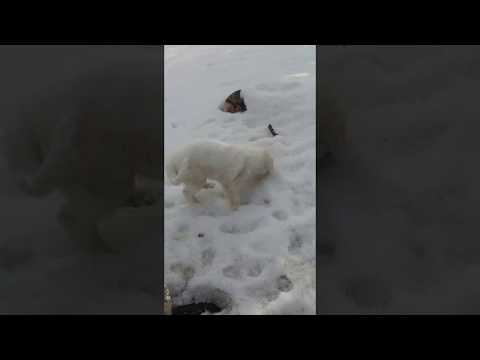 Great Pyrenees Puppy Frolicking in the Snow