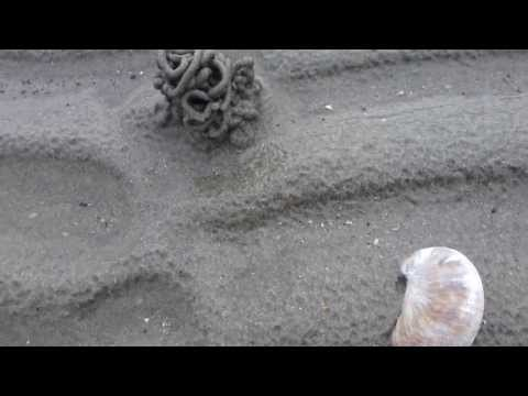 West Wittering Beach - Pacific razor clams shells - Sjávarskeljar - Fjöruferð - Skeljar