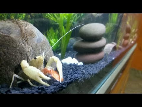 How To Take Care Of Crayfish | General Care And Feeding | Tips