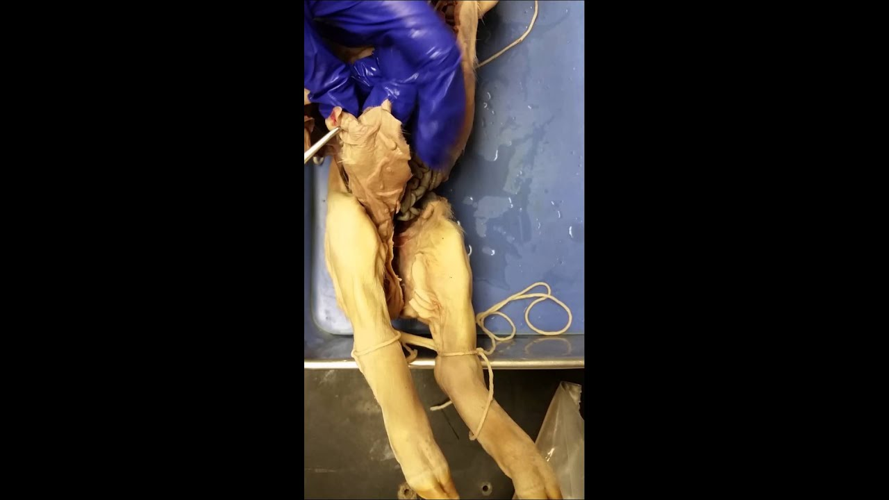 External Anatomy of Fetal Pig - YouTube