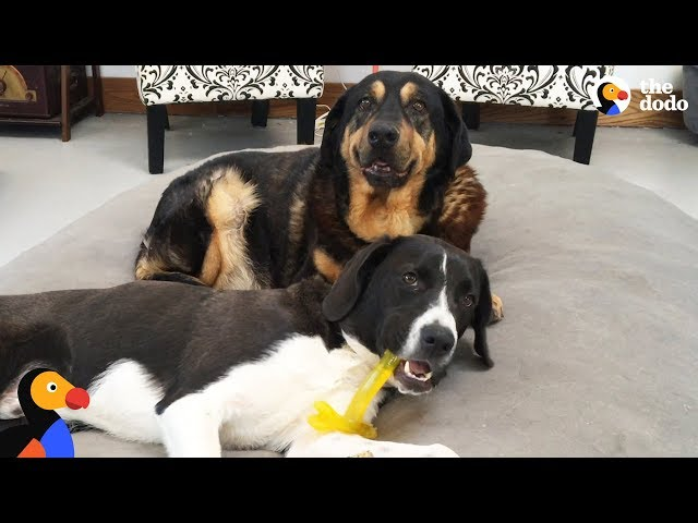 Puppy Brings Chaos to Senior Dog Retirement Home | The Dodo