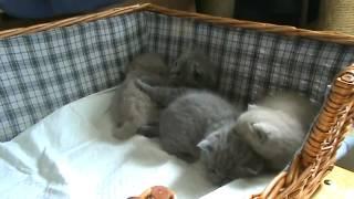 Приколы. Кошки. Ласковые  британские котята.