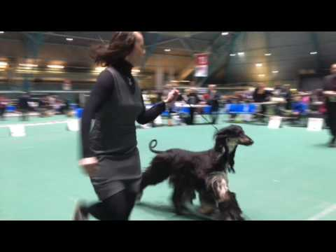 Vaasa IDS Afghan Hounds' Best of Breed Competition