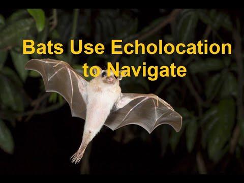 Biomimicry: Bats Use Echolocation To Navigate
