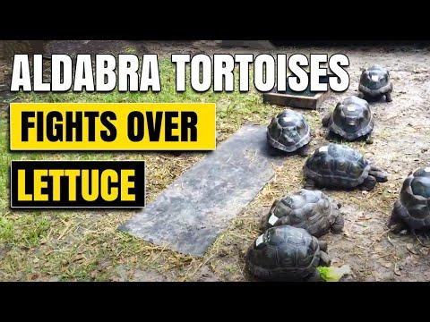 17 inch Aldabra Tortoise Invasion 9 Tortoises eating