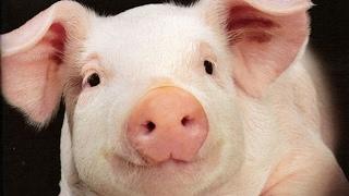 Свиньи как бизнес идея 2 Свинарник
