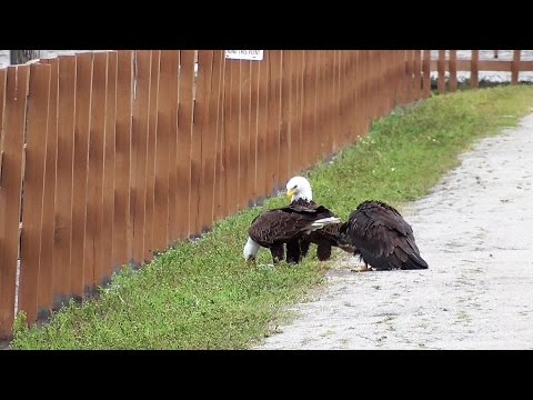 SWFL Eagles_H & M Feed E9 On The Ground~A Walk In The Road & A Light Green Pine Tree 03-14-17