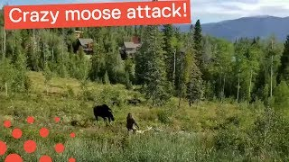 COLORADO MOOSE CHARGES DOG AND WOMAN