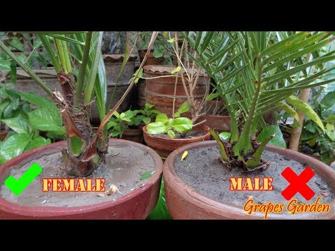 How To Differentiate Male And Female In Seed Grown Date Palm At Home (Urdu/Hindi)