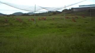 愛知県内にある牧場。シカの群れが牧草を食べています。よく見ると画面...