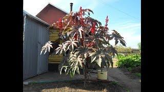 видео Выращивание горцев в своем саду