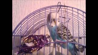 Волнистые попугайчики (видео из фото)