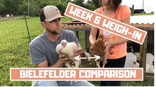 Week 6 Cornish Cross Weigh-in and comparison to Bielefelder chickens