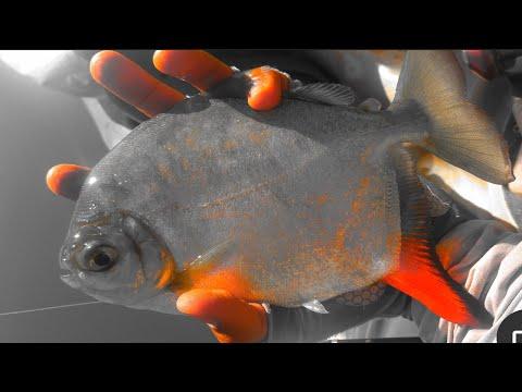 Silver Dollar Fishing: Myleus Grand Slam (3 Different Species)