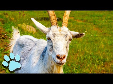 The Funniest Goats of All Time! | Funny Animal Compilation