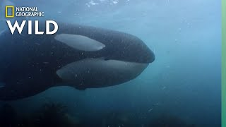 Orca Pod Hunts King Penguins | World's Deadliest Whale