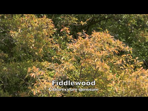 Fiddlewood Tree