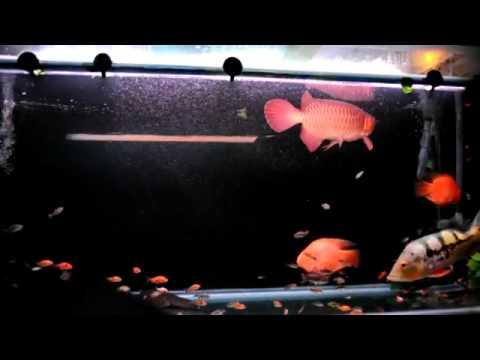 Những hồ cá đẹp   DIỄN ĐÀN CÁ RỒNG VIỆT NAM 2