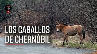 35 años de Chernóbil: los caballos salvajes que se apropiaron de la ciudad abandonada- El Espectador