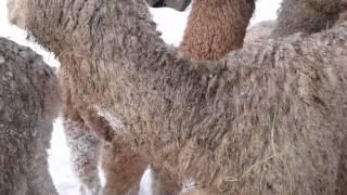 Gambar cover Vlog lille Alpakka 16.01.15