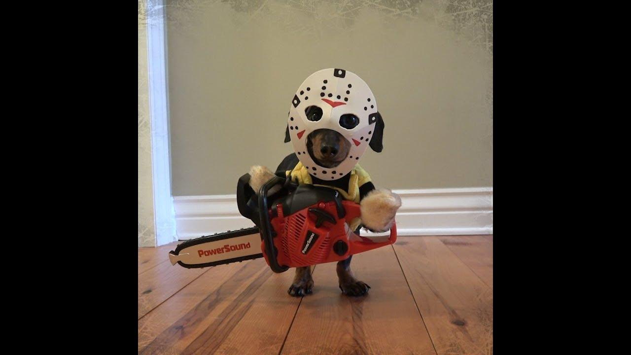 dachshund has a halloween nightmare! - youtube