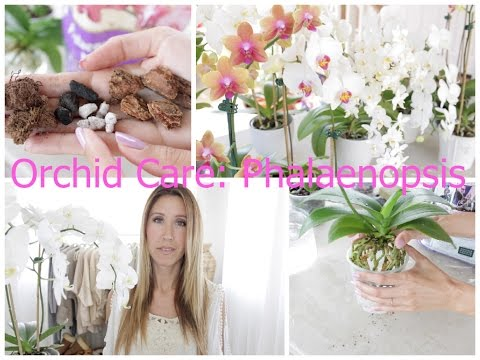 Orchid Care For Phalaenopsis Watering Repotting Feeding Flower Spikes