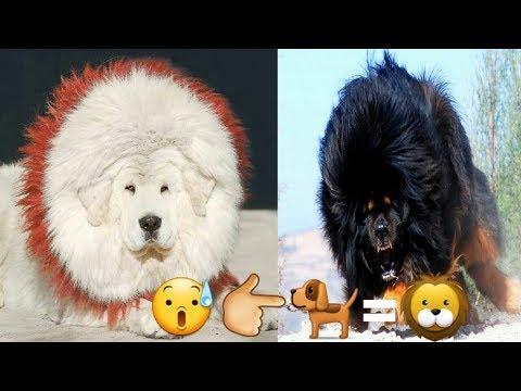 tibetian mastiff dog facts in hindi