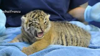 Download Video ANAK HARIMAU LUCU MP3 3GP MP4