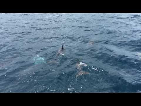 Dolphins at Tañon Strait